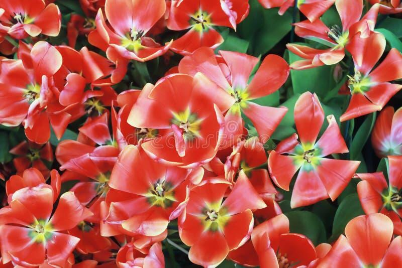 I tulipani rossi stanno fiorendo immagini stock