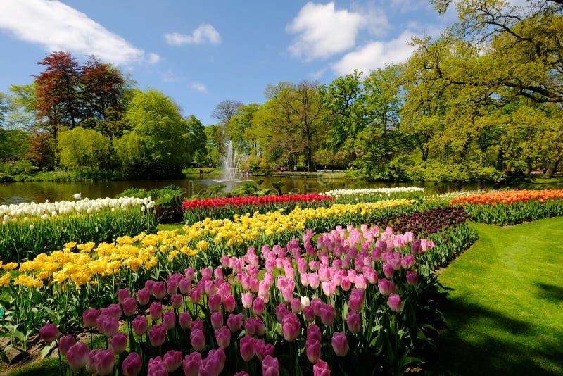 I tulipani sono in piena fioritura a Keukenhof nei Paesi Bassi immagini stock libere da diritti