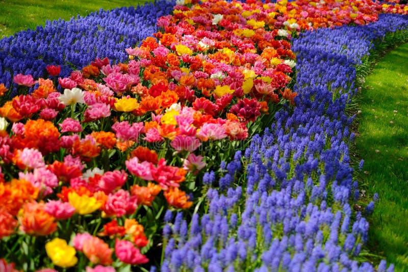 I tulipani variopinti ed i fiori di musucari fioriscono a Keukenhof nei Paesi Bassi immagini stock