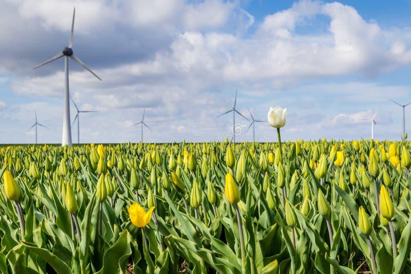 I tulipani variopinti sistema durante la primavera nei Paesi Bassi fotografia stock libera da diritti
