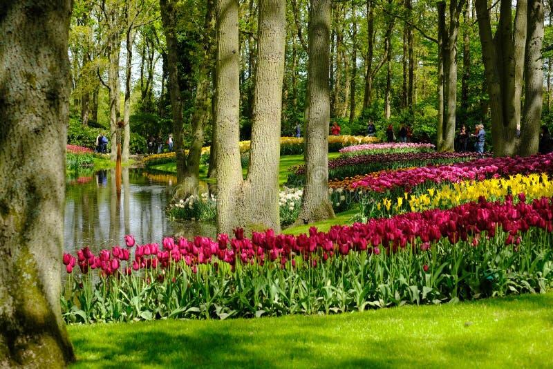 I tulipani variopinti sono in piena fioritura a Keukenhof nei Paesi Bassi fotografia stock libera da diritti