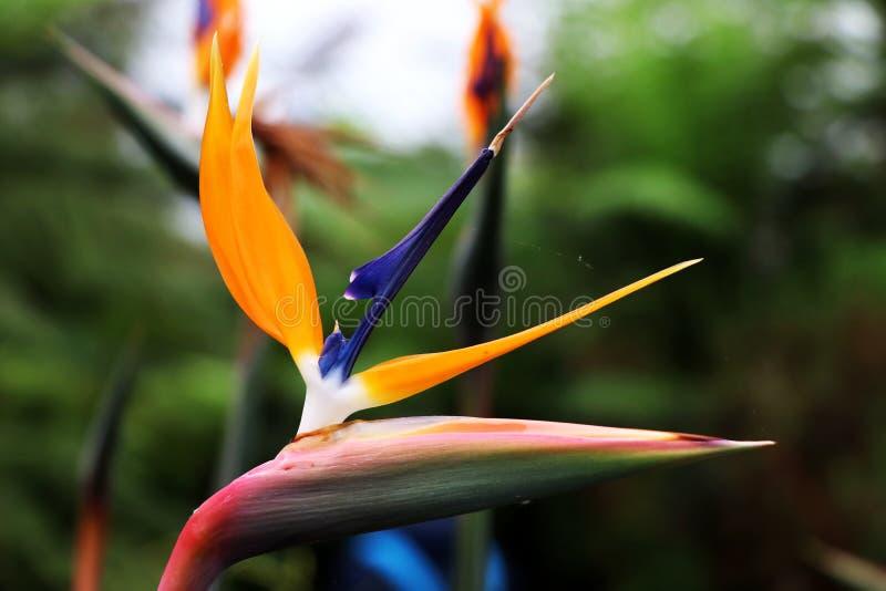 I växthus i Glasgow namngav den färgrika blomman för A tre Strelitzia reginae royaltyfri foto
