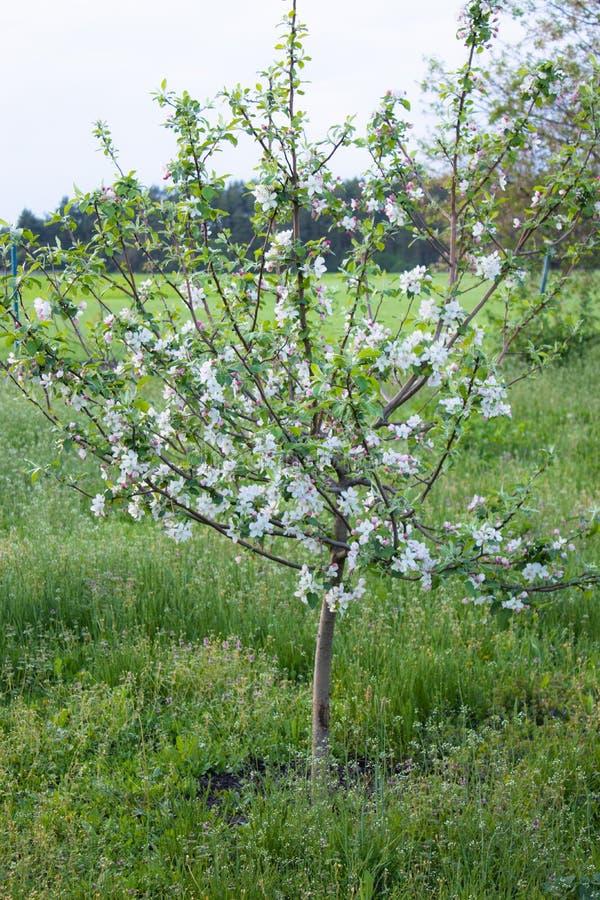 I vår ett äppleträd som blomstras i trädgården ?pplet blommar treen arkivbild