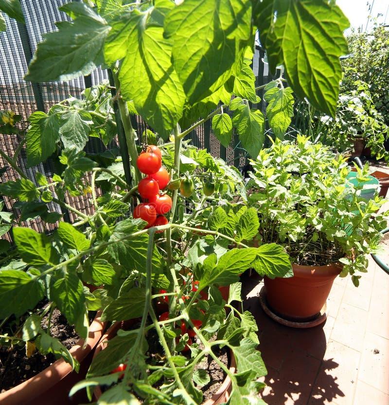 I vasi nel balcone fanno il giardinaggio con le piante di pomodori fotografia stock libera da diritti