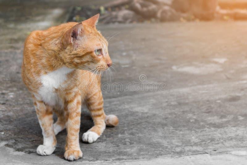 I vecchi gatti smarriti hanno bande arancio Esaminando qualcosa sul pavimento del cemento immagini stock