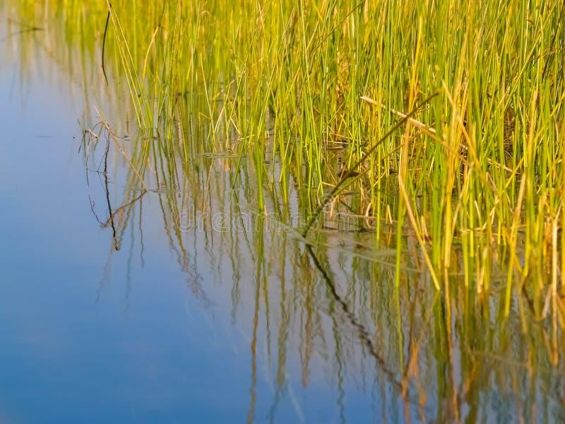 I verdi luminosi ambientali della palude ricopre con canne contro il chiaro wa blu immagine stock