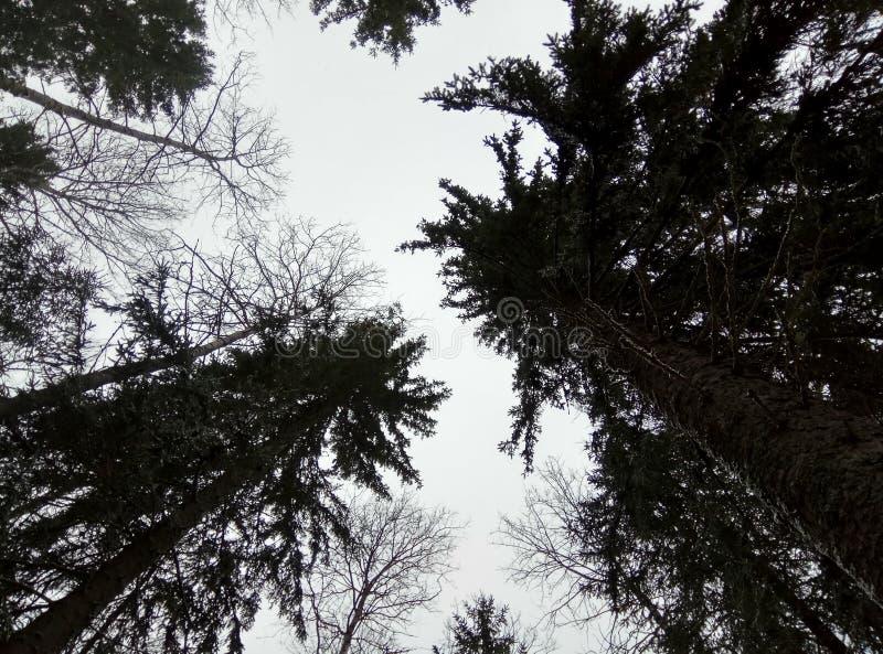 I vinterskogbarrträden i snön som ser in i den blåa himlen skjuten tree f?r sk?ll close upp solbr?nna tv? f?r kupor f?r presentat royaltyfria foton