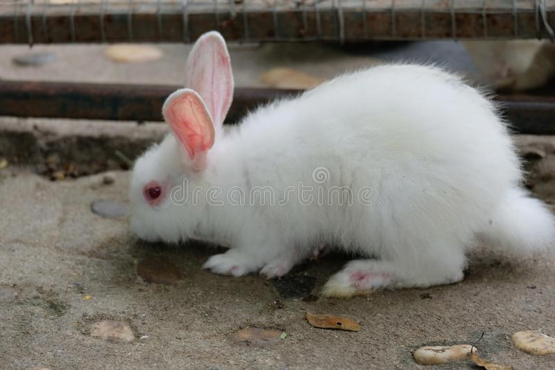 A lovely white rabbit on ground. I visit  a zoo,then take pictures and create this set of photography royalty free stock photos