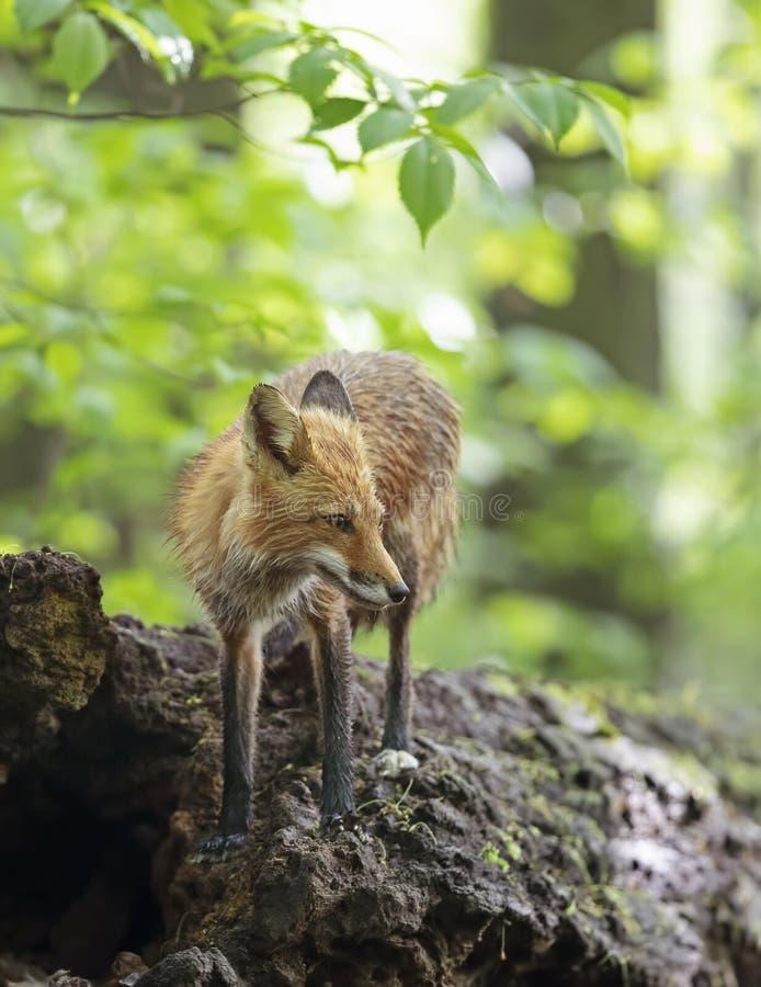 I vulpes di vulpes della volpe rossa che camminano sopra un ceppo muscoso in profondità nella foresta in molla in anticipo nel Ca fotografia stock libera da diritti
