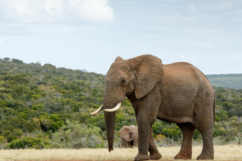 I am way to BIG The African Bush Elephant stock image