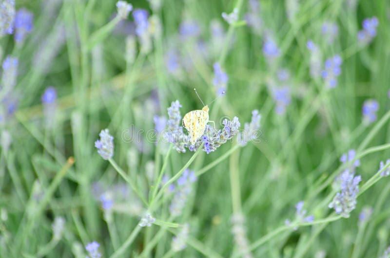 I wildflowers blu e porpora hanno chiamato Lavender o Lavendula con la farfalla fotografia stock libera da diritti