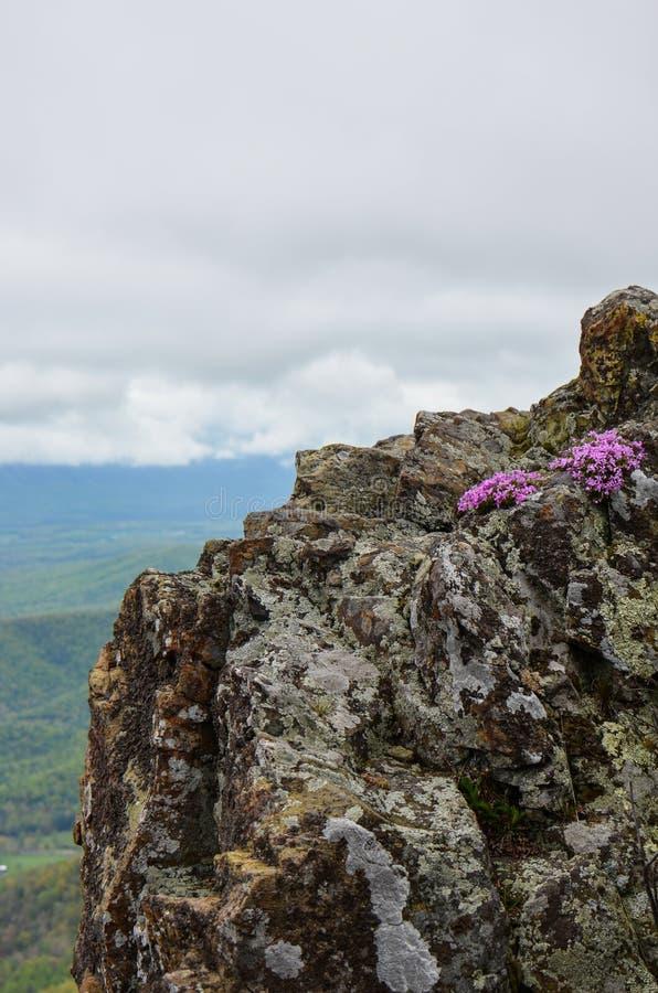 I wildflowers porpora si sviluppano su un outcropping della roccia nel parco nazionale di Shenandoah sulla sommità della montagna fotografia stock libera da diritti
