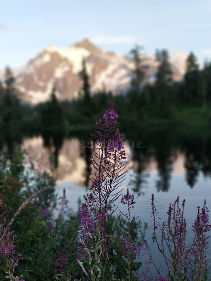 I Wildflowers vicino montano Shuksan ed il lago picture fotografia stock libera da diritti