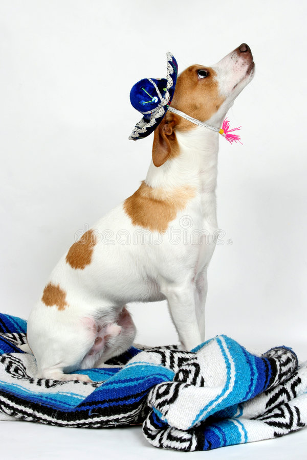I work for treats. A rat terrier waiting for his treats after posing for the camera royalty free stock photography