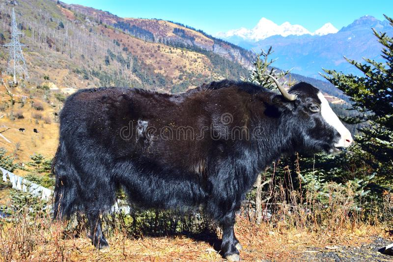 Iaques poderosos na montanha em Chelela, Himalaya, bhutan foto de stock
