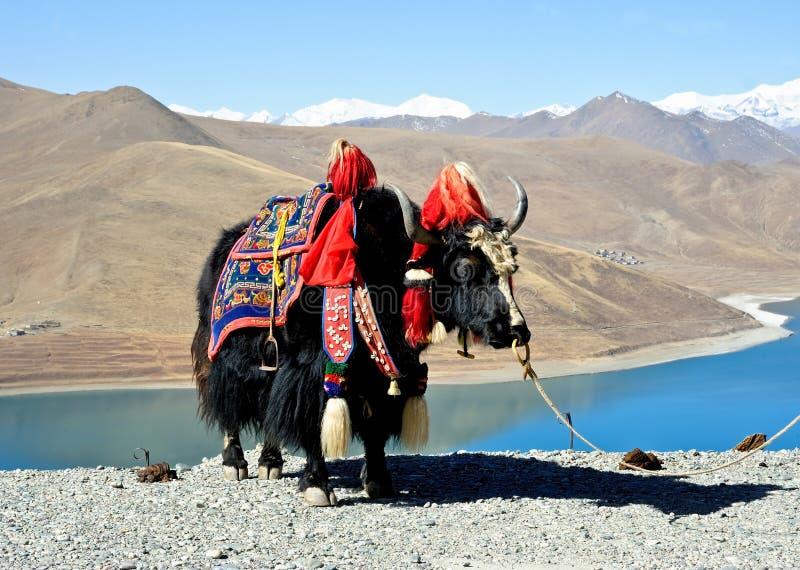 Iaques tibetanos imagens de stock royalty free