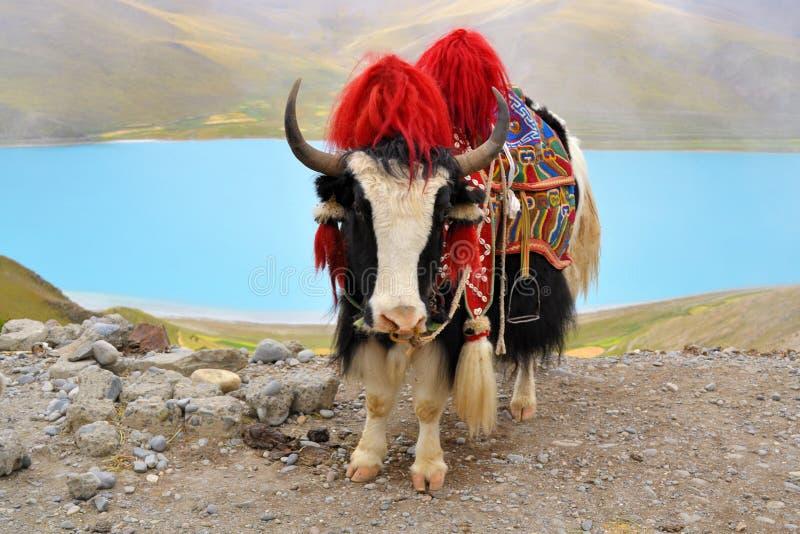 Iaques tibetanos no lago Namtso perto de Lhasa imagem de stock