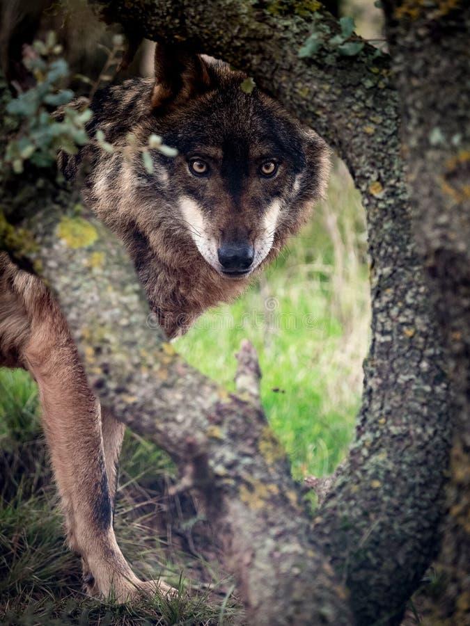 Iberer-Wolf Canis-Lupus signatus, das im Wald anstarrt stockbild
