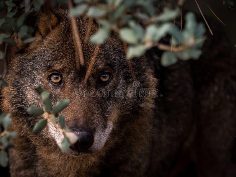 Iberer-Wolf Canis-Lupus signatus versteckt im Busch stockfotografie