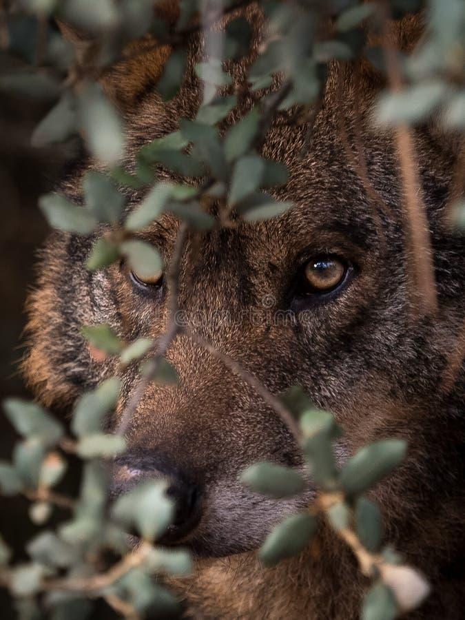 Iberer-Wolf Canis-Lupus signatus versteckt im Busch stockbilder