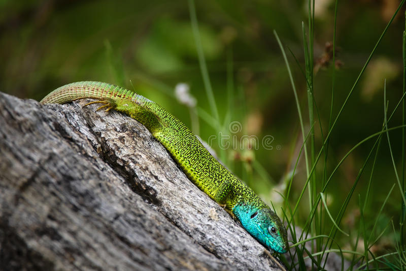 Iberian emerald lizard. Lacerta Schreiberi on a tree stump in the grass royalty free stock photography