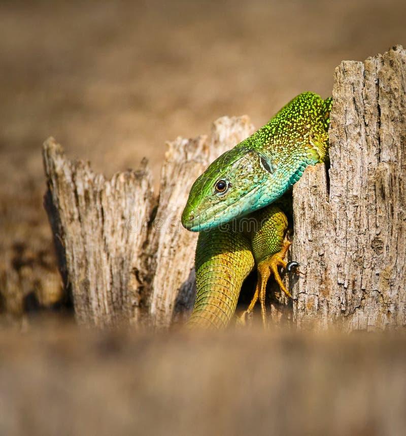 Iberian emerald lizard. Lacerta Schreiberi on a tree stump in the grass stock image
