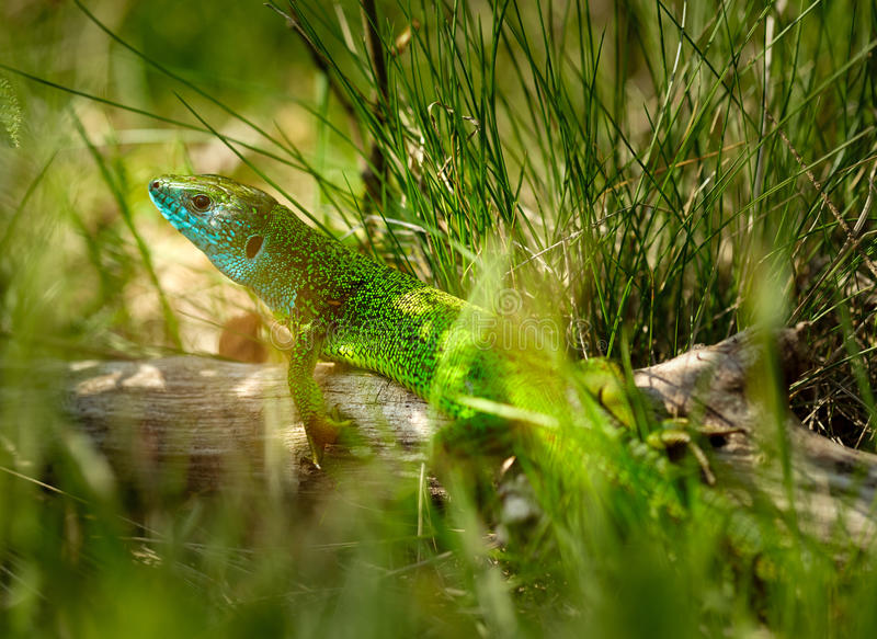 Iberian emerald lizard. Lacerta Schreiberi on a tree stump in the grass royalty free stock photos