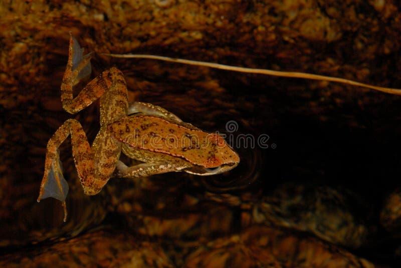 Iberian frog Rana iberica in a pond of Baixa-Limia, Orense, Spain. Iberian long-legged frog Rana iberica in a pond of Baixa-Limia, Orense, Spain royalty free stock photography