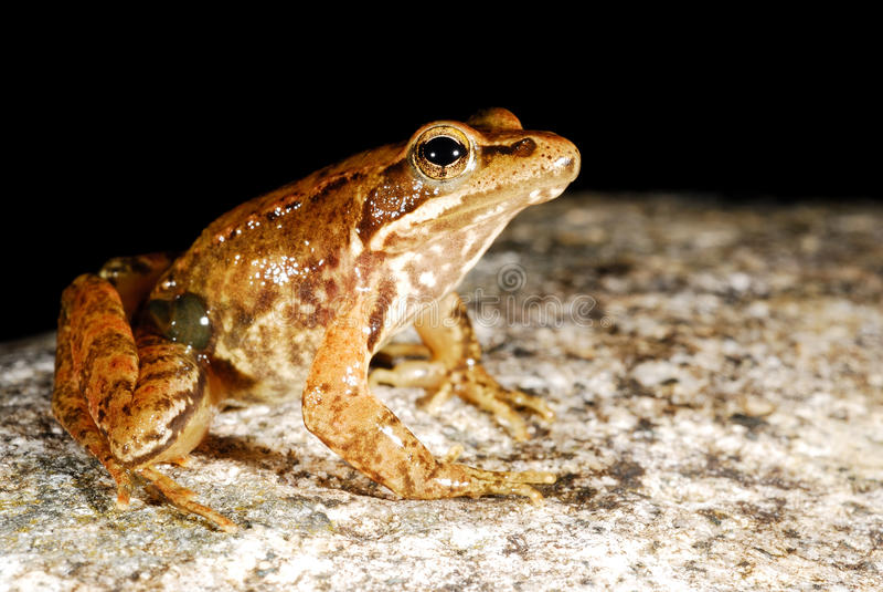 Iberian frog Rana iberica in a pond of Baixa-Limia, Orense, Spain. Iberian long-legged frog Rana iberica in a pond of Baixa-Limia, Orense, Spain stock photo