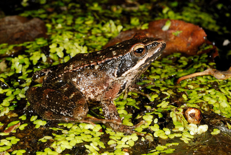 Iberian frog Rana iberica in a pond of Trives, Orense, Spain. Iberian long-legged frog Rana iberica in a pond of Puebla de Trives, Orense, Spain royalty free stock image