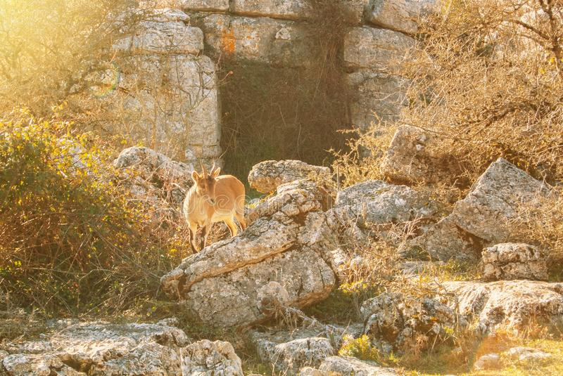 An Iberian ibex, Spanish wild goat, standing greazing in the mountains sierra between the big stones in the warm evening sunlight stock photos