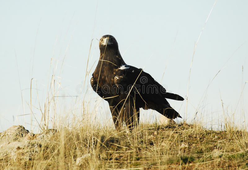 The Iberian imperial eagle royalty free stock images