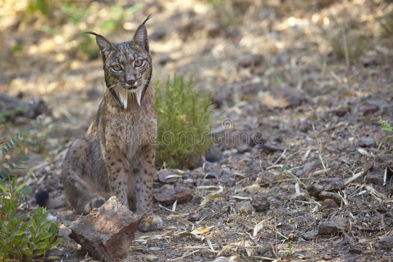 Iberian lodjursammanträde på varning royaltyfri foto