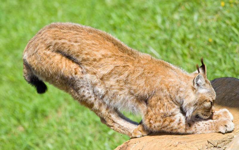 Iberian lynx royalty free stock photos
