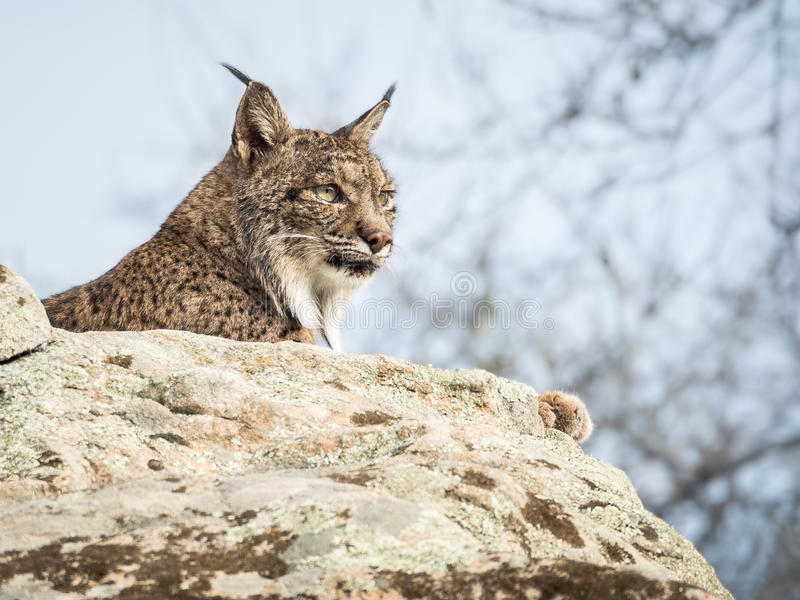 Iberian lynx ( Lynx pardinus ) lying down on a rock stock images