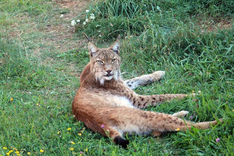 Iberian lynx. (Lynx pardinus) resting on the grass royalty free stock photos