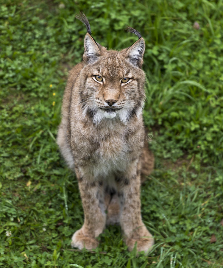 Iberian lynx stock image