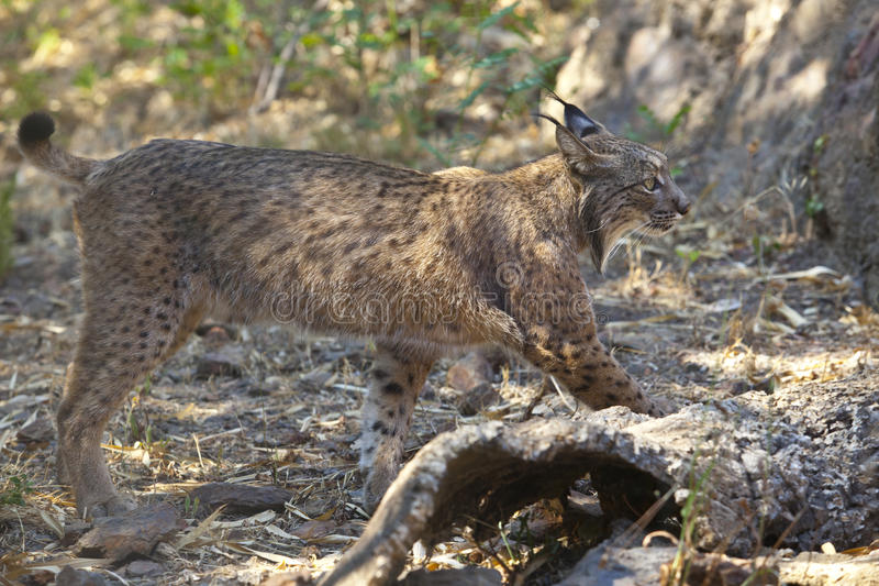 Iberian lynx side view stock image