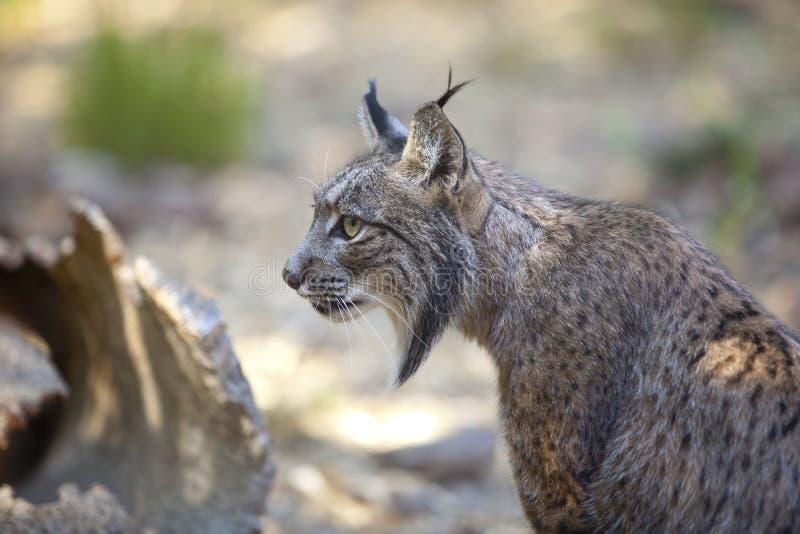 Iberian lynx sitting profile royalty free stock images