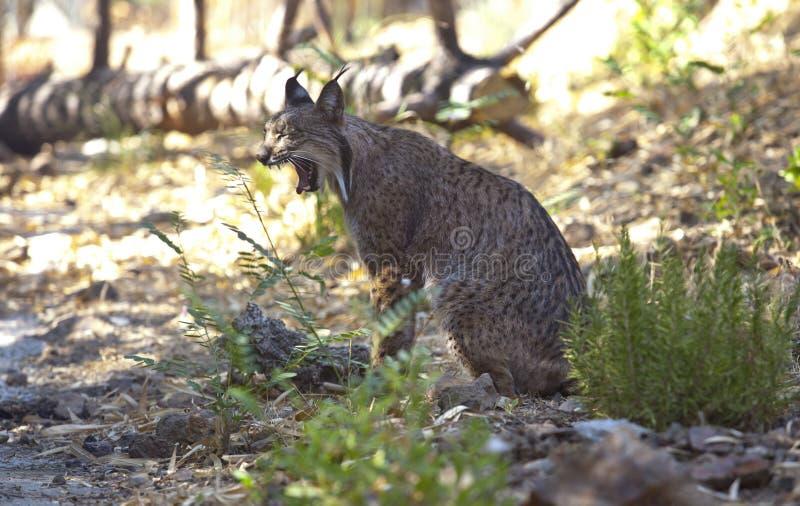 Iberian lynx yawn stock photos