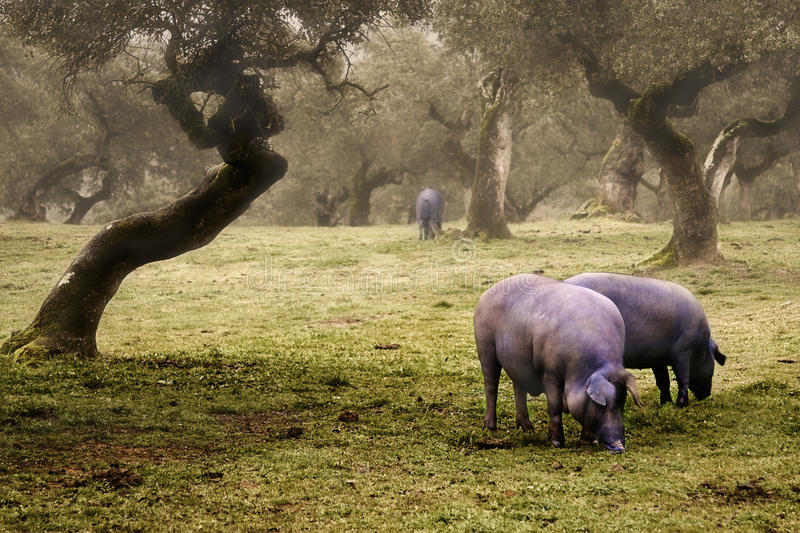 Iberian pig in the meadow royalty free stock image