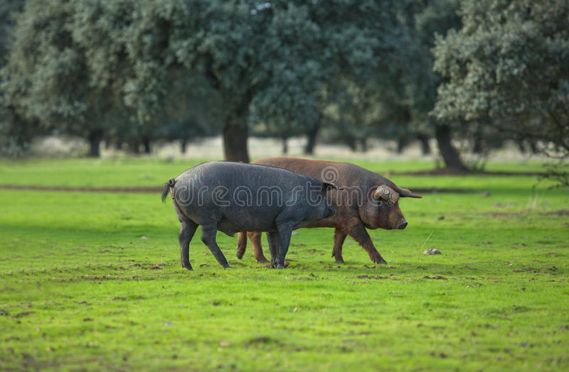 Iberian Pigs royalty free stock photos
