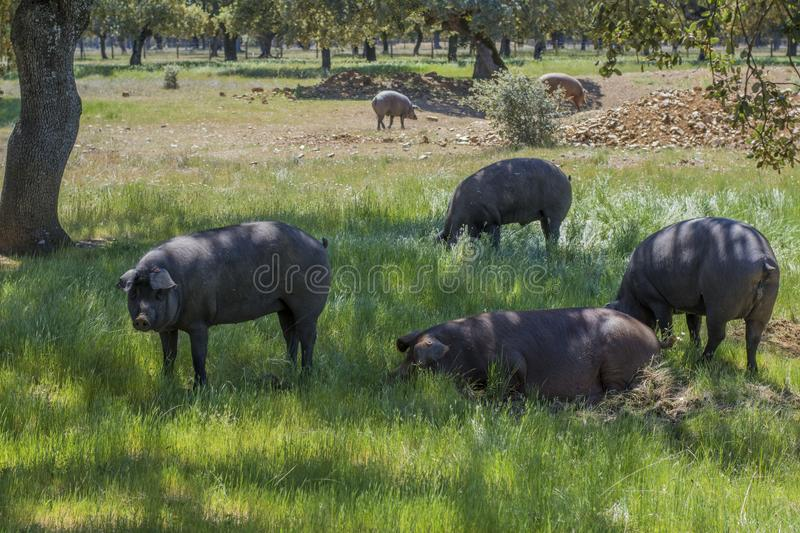 Iberian pigs eating acorns in the oak field royalty free stock images