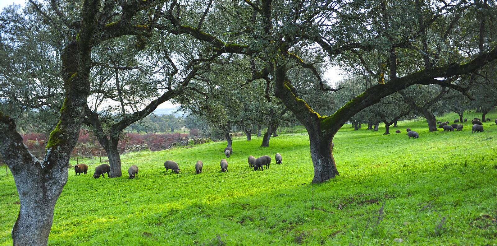 Iberian pigs feeding on acorns near the village of Cumbres Mayores, Huelva province, Spain. Spring landscape in Andalusia on a farm dedicated to raising pork in stock images