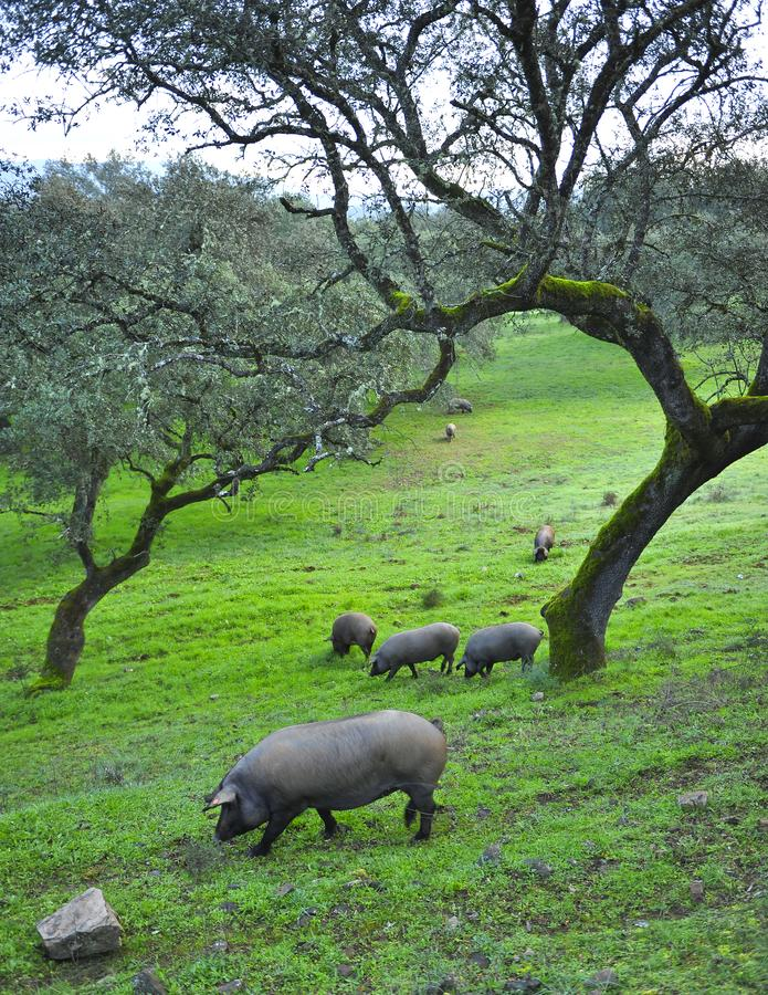 Iberian pigs feeding on acorns near the village of Cumbres Mayores, Huelva province, Spain. Spring landscape in Andalusia on a farm dedicated to raising pork in royalty free stock photography