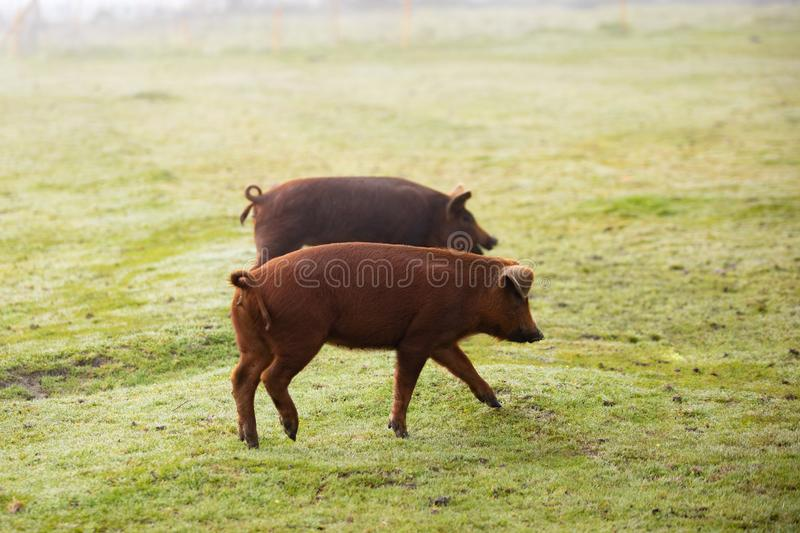 Iberian pigs grazing stock images