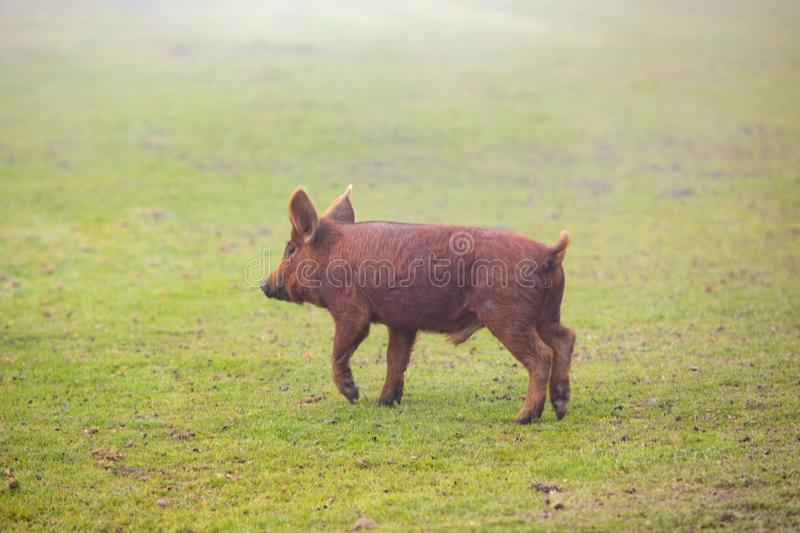 Iberian pigs grazing royalty free stock photo