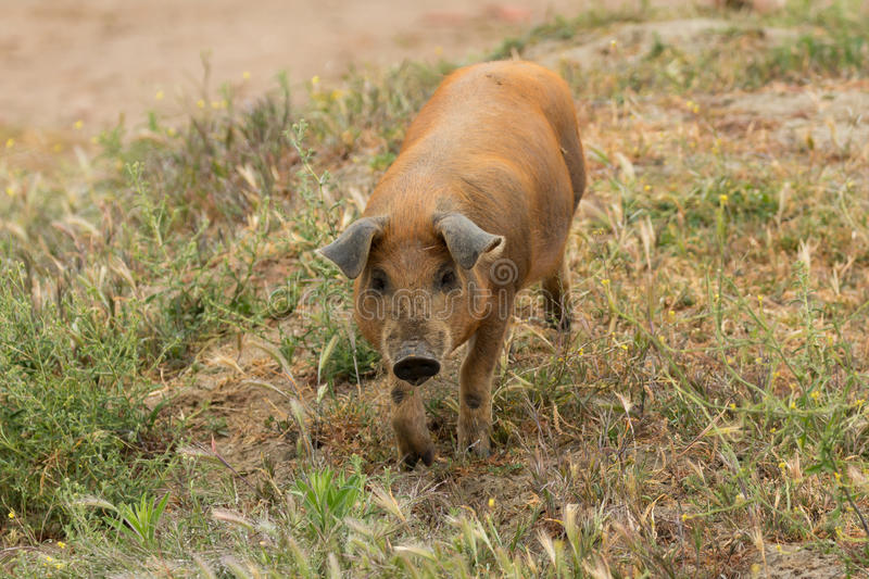 Iberian pigs grazing stock photos