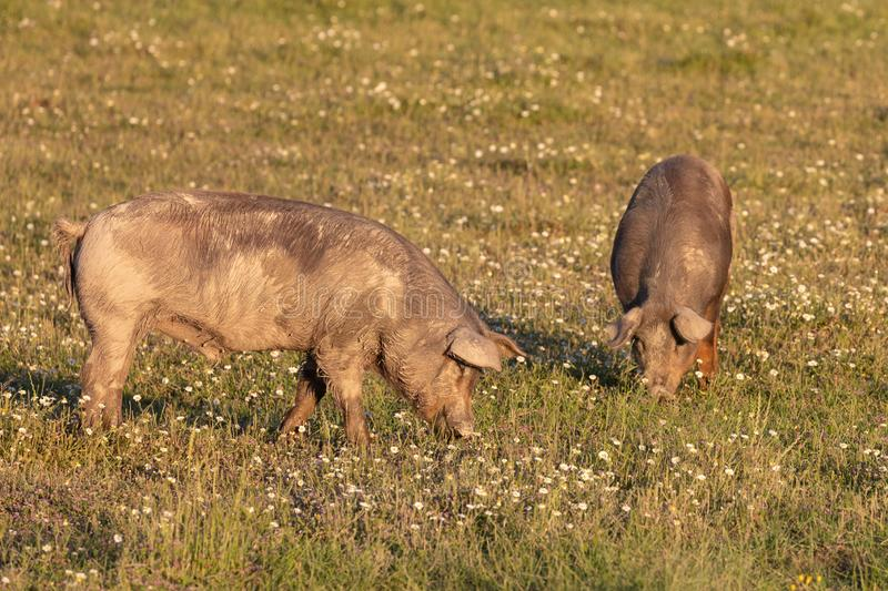Iberian pigs grazing stock photography