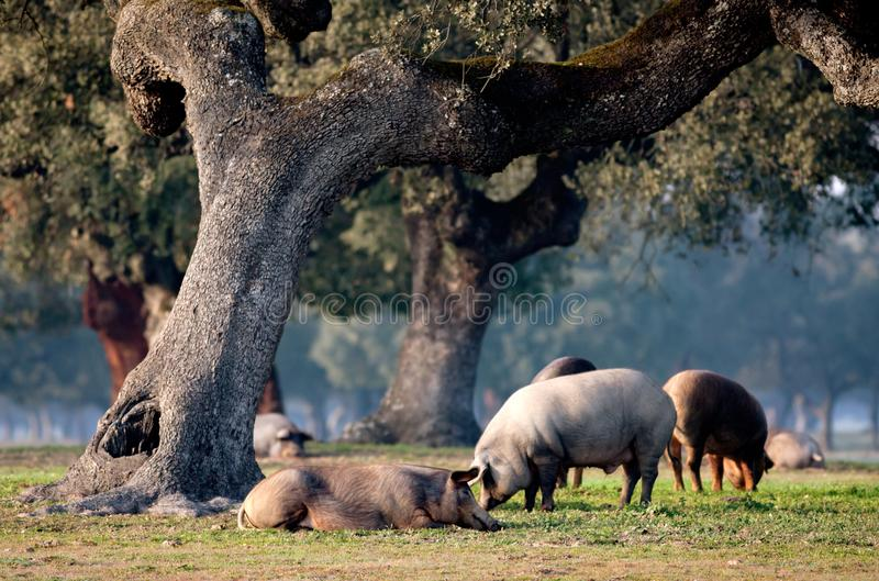 Iberian pigs grazing among the oaks stock photography